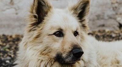 Razas de perro: Pastor garafiano