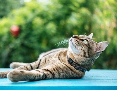 Síncope en gatos: todo lo que necesitas saber