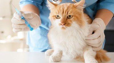 Cómo tratar la sarna en los gatos