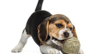 Cómo educar a un perro para que no muerda cosas en casa