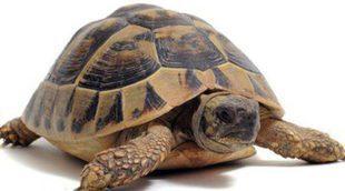 Tortugas terrestres