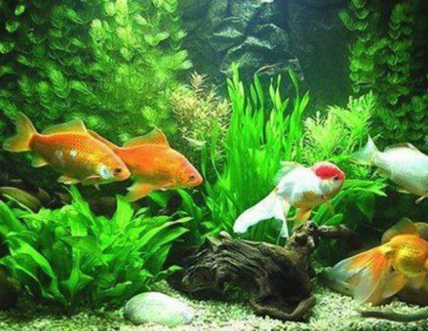 Tipos de peces que no pueden vivir en un acuario bekia for Modelos de estanques para peces