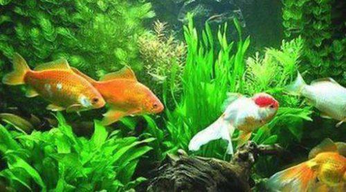 Tipos de peces que no pueden vivir en un acuario
