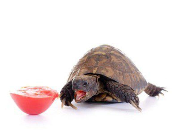 Qué comen las tortugas? - Bekia Mascotas