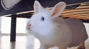 Ventajas e inconvenientes de tener un conejo como mascota