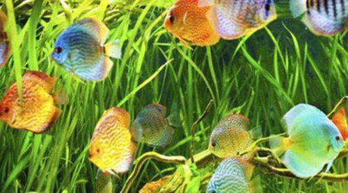 Enfermedades de peces: síntomas y tratamiento del Gusano Lernaea