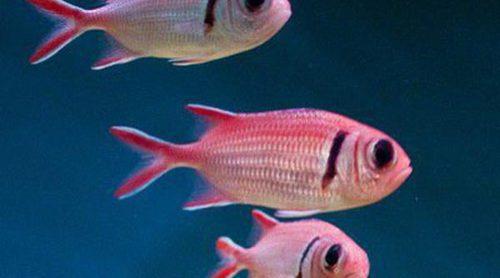 Enfermedad del terciopelo en los peces: síntomas y tratamiento