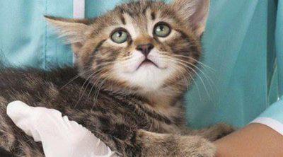 ¿Los gatos pueden tener gripe?