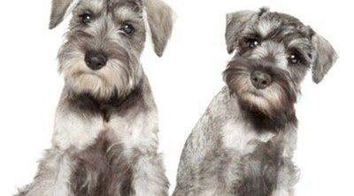 Diferencias entre los Schnauzer miniatura, estándar y gigante: ¿Cuál elijo como mascota?