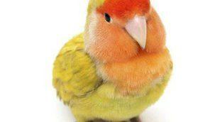 Pájaro Agapornis: características y cuidados