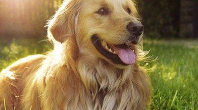 Características del Golden Retriever: una mascota cariñosa