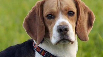 Cuidados y características del Foxhound inglés