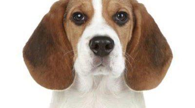 Razas de perros: Diferencias y semejanzas entre los Beagle y los Foxhound