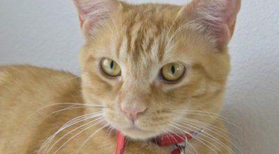 Collar de feromonas para gatos