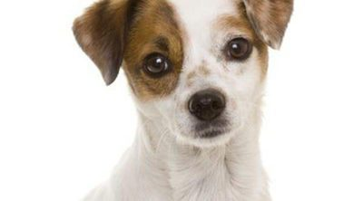 Razas de perros: Ratonero bodeguero andaluz