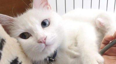 Enfermedades de gatos: Virus de Inmunodeficiencia felina (VIF)