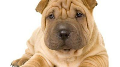 Shar Pei: Razas de perros