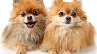 Pomerania: Razas de perros