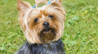 Yorkshire terrier: razas de perros