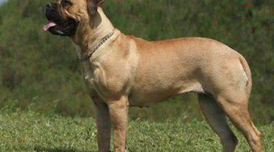Las 10 razas de perros más grandes del mundo