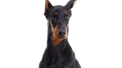 Doberman: Razas de perros