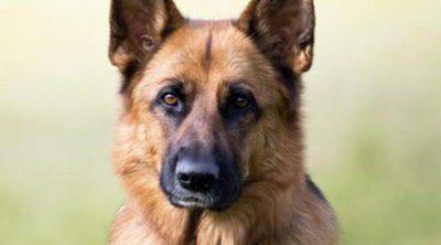 Pastor alemán: Razas de perros