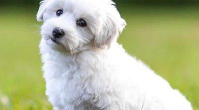Bichón frisé: Razas de perros