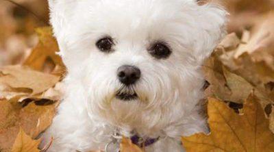 Bichón maltés: razas de perros