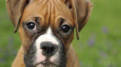 Bóxer: Razas de perros