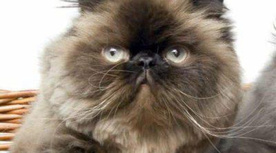 Gato persa: todo sobre esta raza de felino