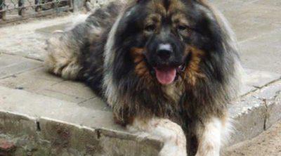 Razas de perros: Pastor Caucásico