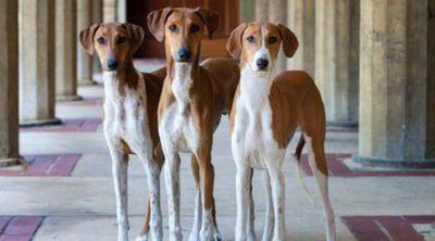 Razas de perros: Azawakh o Galgo africano