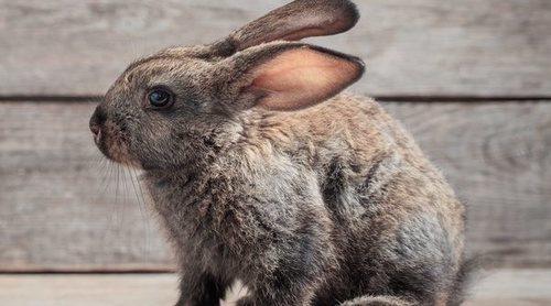 ¿Cuántos años vive un conejo?
