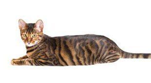 Gato Toyger: todo sobre esta raza de felino