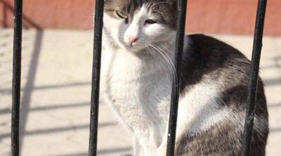 Gato Manx: todo sobre esta raza de felino
