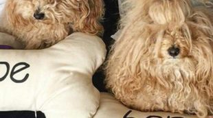 Conoce a Hope y Joe, los inseparables caniches de Bibiana Fernández