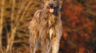 Razas de perros: Irish Wolfhound o Lobero Irlandés