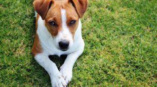 Jack Russell Terrier: Razas de perros