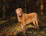 Razas de perros: Dogo de Burdeos