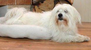 Razas de perros: Coton de Tuléar