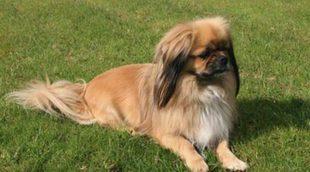 Razas de perros: Spaniel Tibetano