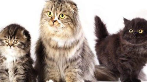 Scottish Fold: todo sobre esta raza de felino