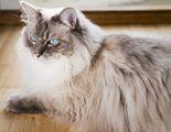 Ragdoll: Todo sobre esta raza de felino