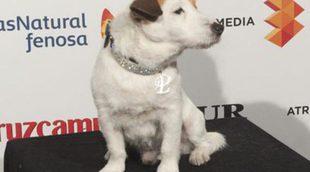 Muere el perro Pancho, el Jack Russell Terrier que conquistó la pequeña y gran pantalla