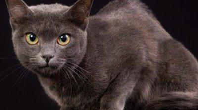 Korat: Todo sobre esta raza de felino