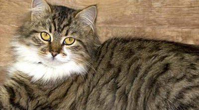 Maine Coon: Todo sobre esta raza de felino