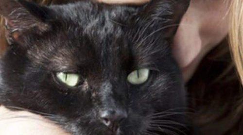 Gato Bombay: Todo sobre esta raza de felino
