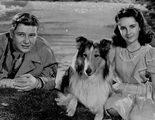 Lassie, la Collie m�s famosa del mundo con un pasado y tradici�n inglesa