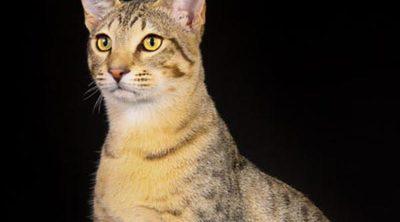 Mau Egipcio: Todo sobre esta raza de felino