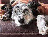 C�mo prevenir la gripe en mi perro